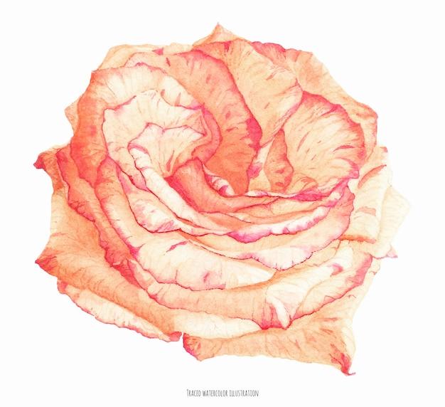 Свежий двухцветный кремовый цветок коралловой розы, ботаническая реалистичная прорисованная акварель