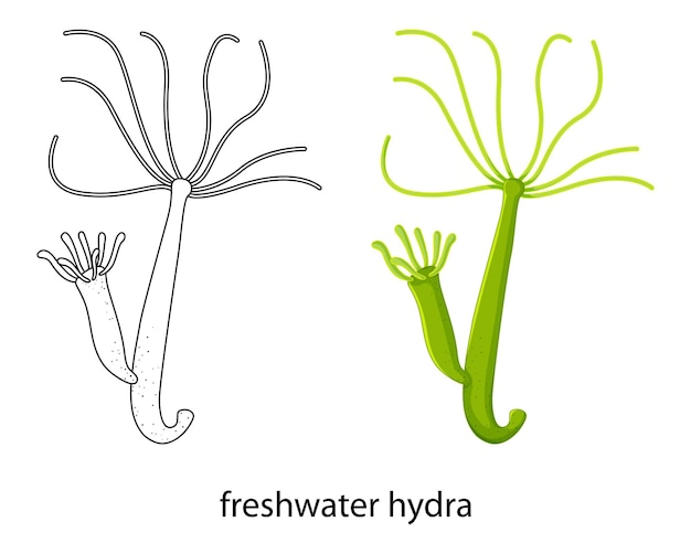 Freshwater hydra in colour and doodle on white