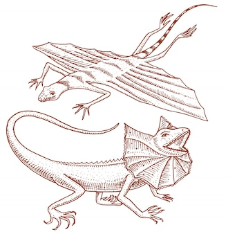 Frilled-necked lizard, flying dragon or agama in australia. wild animals in nature.
