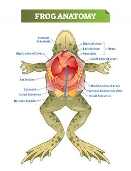 Frog anatomy labeled vector illustration scheme