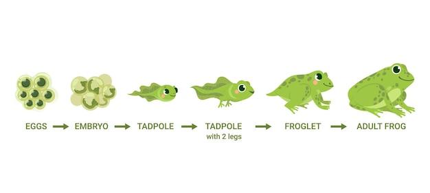 개구리 수명주기. 알 덩어리, 올챙이, 개구리, 개구리 변태. 야생 물 동물, 진화 발달 두꺼비 만화 벡터 다이어그램. 일러스트 양서류, 개구리 발달