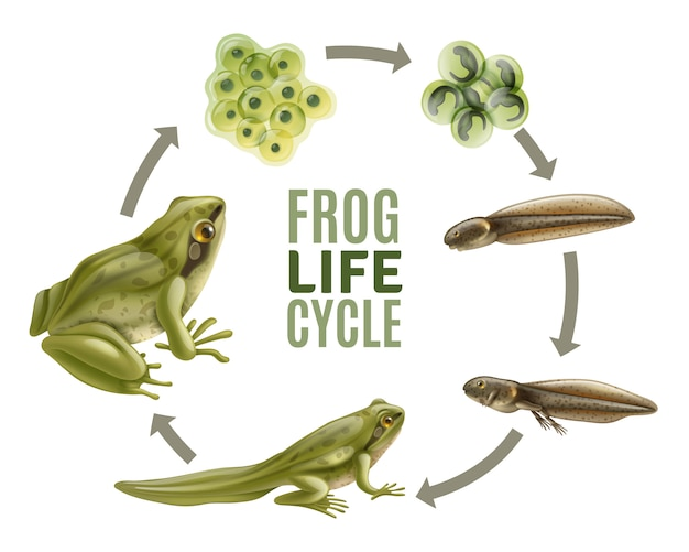 Frog life cycle stages realistic set with adult animal fertilized eggs jelly mass tadpole froglet