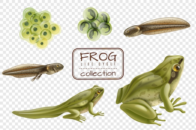 Frog life cycle stages realistic set with adult animal fertilized eggs tadpole froglet transparent