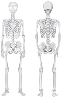Front and back views of skeleton isolated on white background