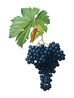 Fuella grapes from pomona italiana illustration