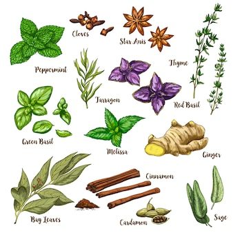 Full color realistic sketch illustration of culinary herbs and spices