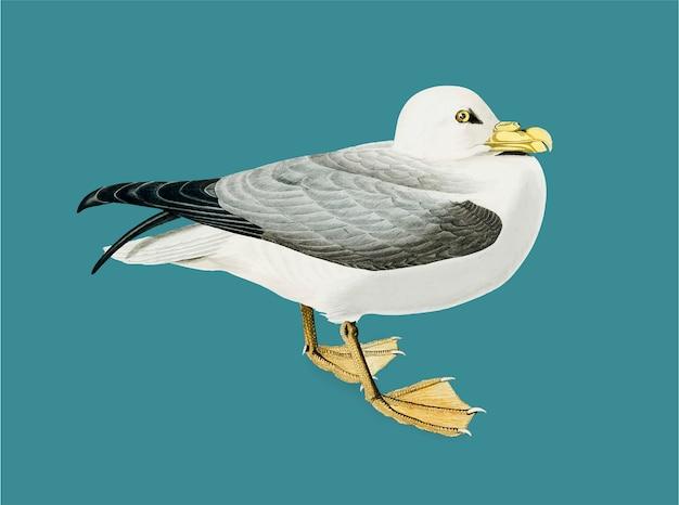 Fulmar petrel illustration