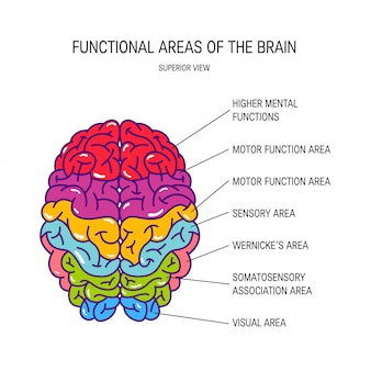 Functional areas of a human brain, illustration.