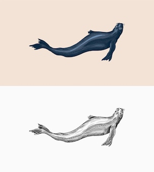 Fur seal marine creatures nautical animal or pinnipeds vintage retro signs doodle style hand drawn
