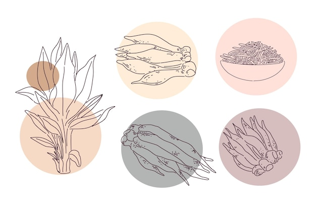 Galingale or finger root illustration