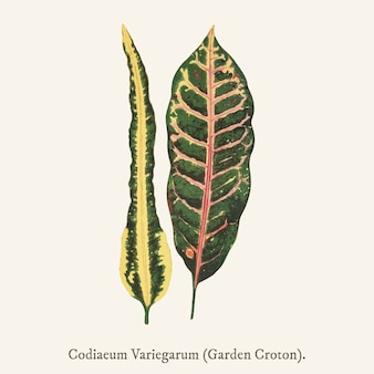Сад кротон (codiaeum variegarum)