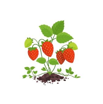 Садовый куст клубники с большими красными спелыми ягодами.