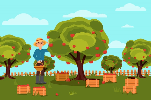 Gardener picking apples in basket. fruit farm. natural landscape. wooden boxes with harvest. flat design