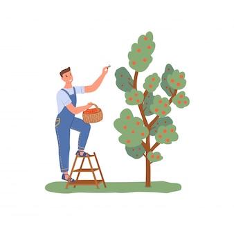Садовник собирает яблоки с дерева