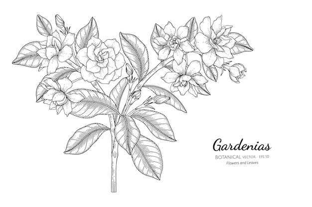 Gardenias 꽃과 잎 손으로 그린 식물 삽화가 라인 아트로 그려져 있습니다.