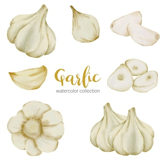 Garlic culinary herb in watercolor collection with full and slice and cut in half
