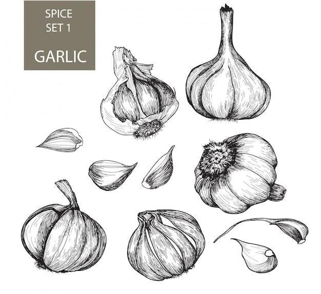 Garlic  in engraving style
