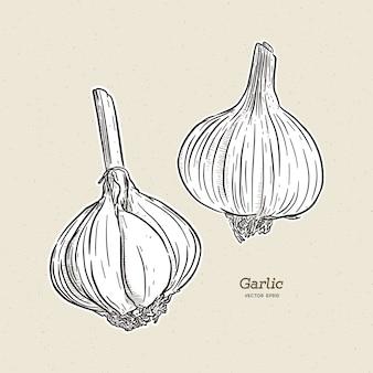 마늘, 손으로 그리는 스케치.