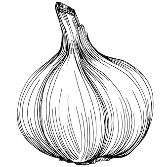 Garlic hand drawing   sketch illustration. engraved style. product on the agricultural market. the best situated for design menu, label, badges, banners and promotion.