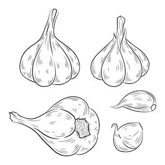Garlic hand drawn.