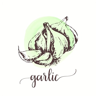 Garlic sketch on watercolor paint.