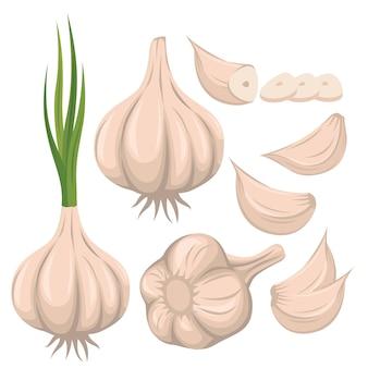 Garlic vector set illustration