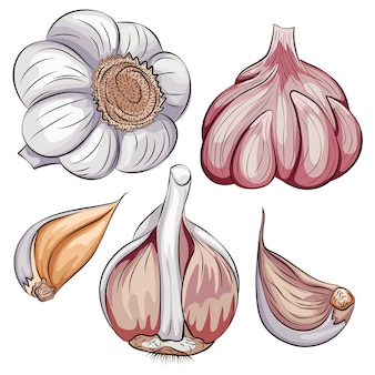 Garlic whole and clove set. cartoon hand drawn vegetable icon isolated on white background.