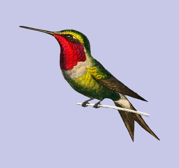Garnet-throated hummingbird