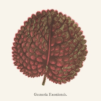 Genera exoniensis