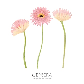 ガーベラの花の水彩イラスト