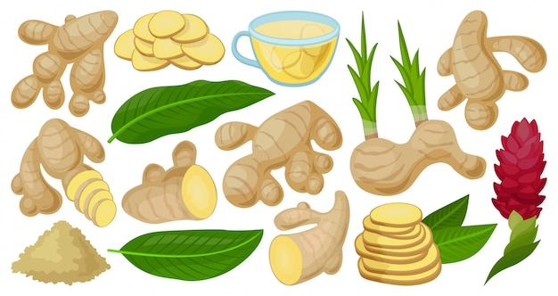 Ginger  cartoon set icon.  illustration root on white background.  cartoon set icon ginger.