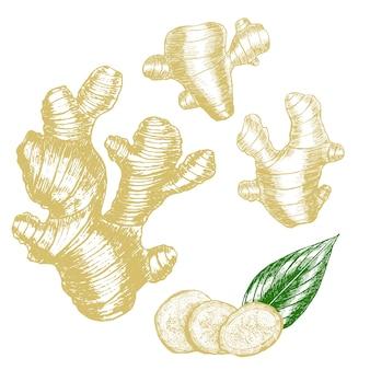 生姜手描きスケッチ。スライス、根、葉。ハーブスパイス。