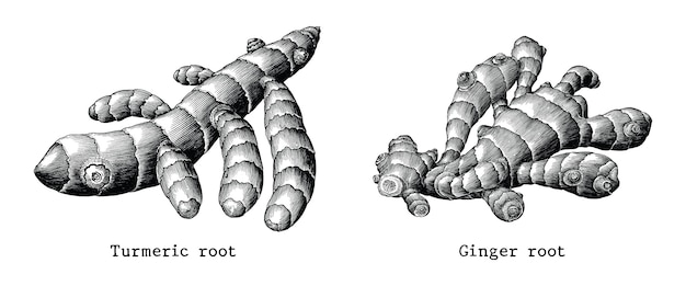 Ginger root and turmeric root botanical hand draw vintage isolated on white background