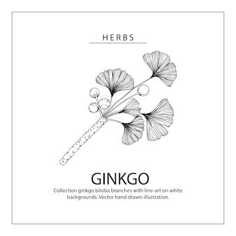 Ginkgo biloba листовые рисунки.