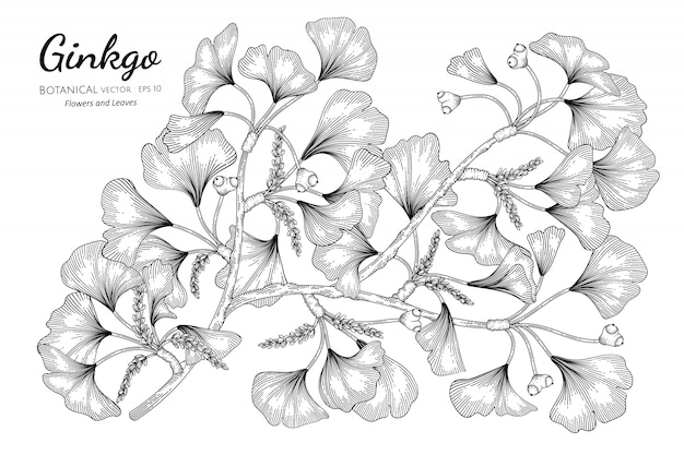 Ginkgo hand drawn botanical illustration with line art on white