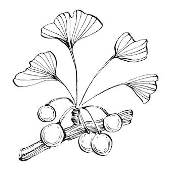 은행 나무 허브 식물 손으로 그리기 스케치 일러스트 디자인 와인