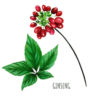 Ginseng berries with leaves, hand drawn watercolor