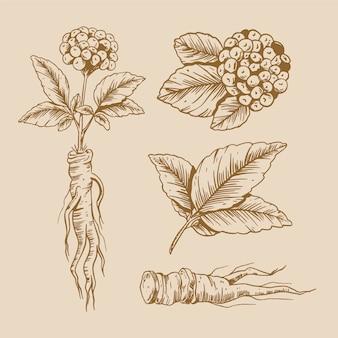 高麗人参の植物コレクションの描画デザイン