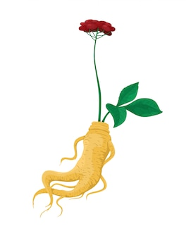 Ginseng root on a white background.  isolate