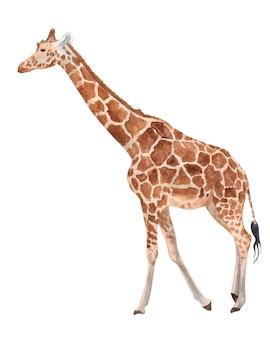 Giraffe in full growth watercolor