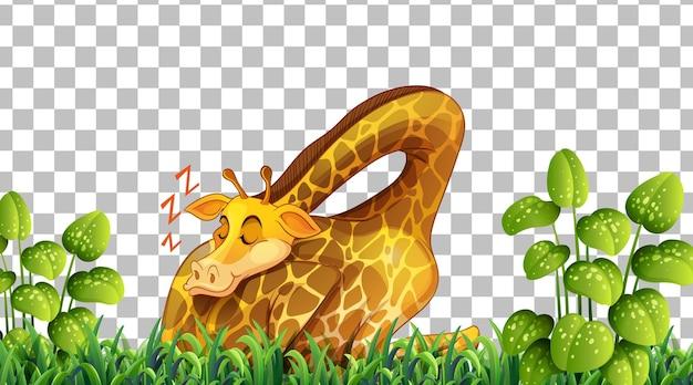 Giraffa sul campo in erba su sfondo trasparente