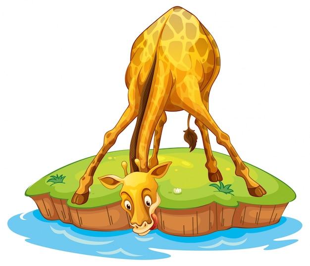 Giraffe on island drinking