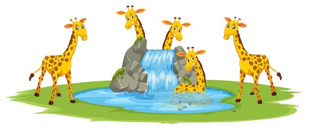 Giraffe at the water