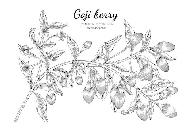 Goji berry fruit hand drawn botanical illustration with line art on white