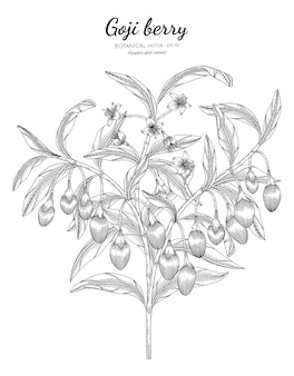 Goji berry fruit hand drawn botanical illustration.