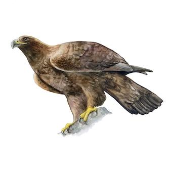 Golden eagle. watercolor