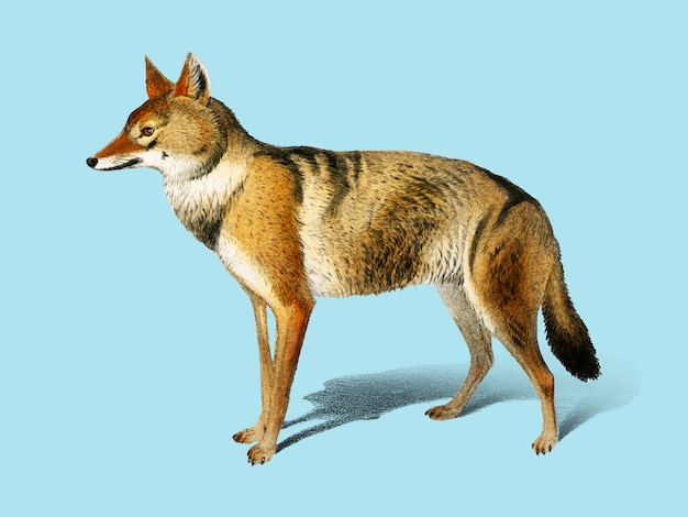 Golden jackal (canis aureus) illustrated by charles dessalines d'orbigny (1806-1876).