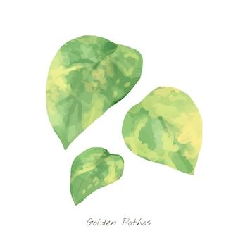 Golden pothos leaf isolated on white background