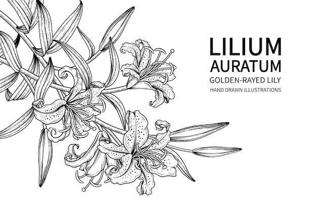 Golden-rayed lily flower (lilium auratum) drawings
