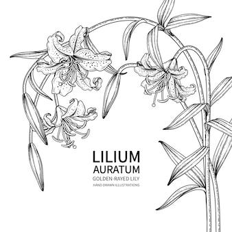 황금 광선 백합 꽃 (lilium auratum) 그림.